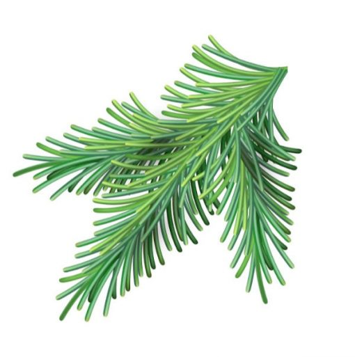 Scots Pine Essential Oil